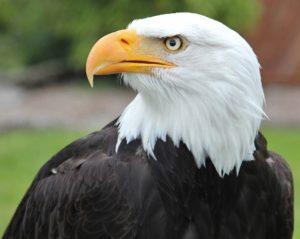 bald-eagle-1075023_1920
