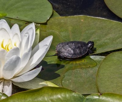 a turtle on the leaves of a lotus in water
